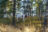 Cow in forest — Stock fotografie