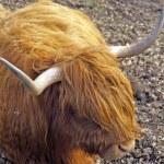 Scottish cow — Stock Photo