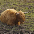 Scottish cow — Stock Photo