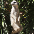 Stock Photo: Meerkat in Barcelona's zoo