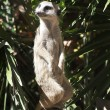 Meerkat in Barcelona's zoo — Stock Photo