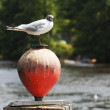 Stock Photo: Black-headed gull