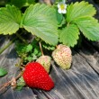 Fresh ripe red strawberry in greenhouse — Stock Photo