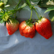 Fresh ripe red strawberry in greenhouse - Stock Photo