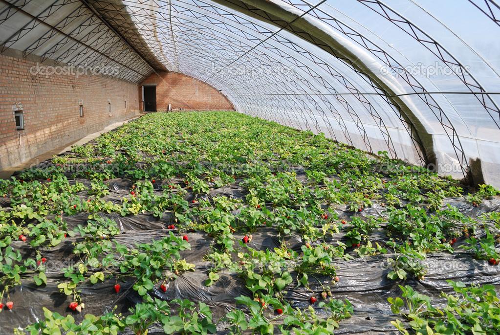 Производственное выращивание клубники 279