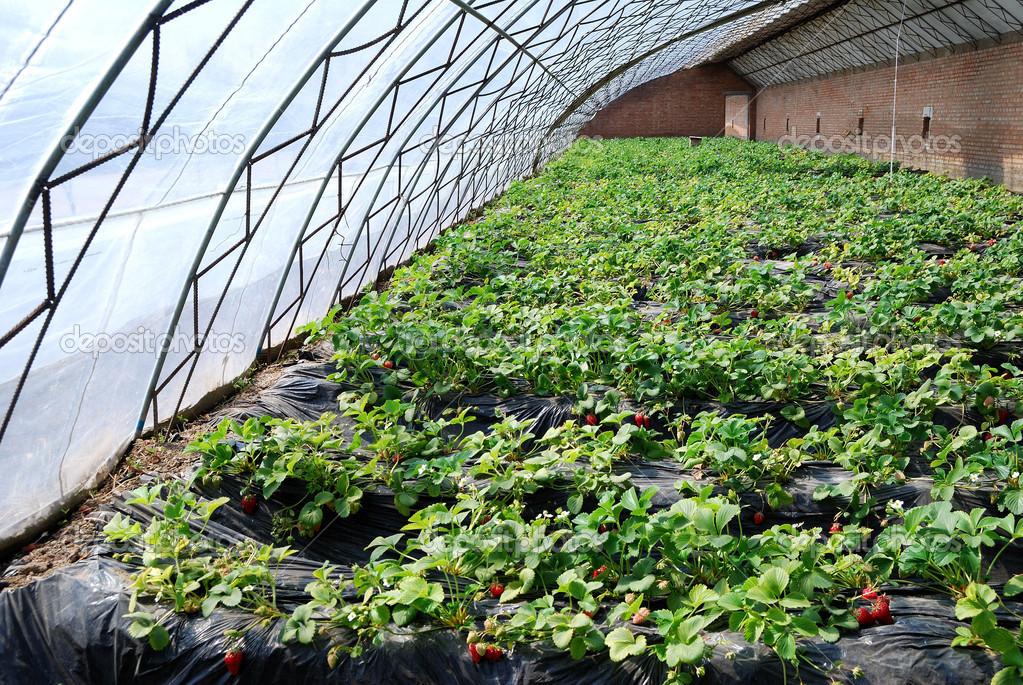 Производственное выращивание клубники 778