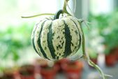 Pumpkin in the greenhouse — Stock Photo