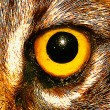 Wildcat Eye Close Up — Stock Photo #31176607