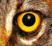Wildcat Eye Close Up — Stock Photo