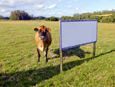 Cow in the Field next to an Empty Sign — Stock Photo