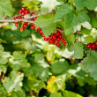 Ripening redcurrant bunch on the branch — Stock Photo