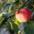 Stock Photo: Red apple growing on tree