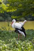 Two White Storks — 图库照片
