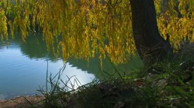 Willow by the lake. Sun reflection on a water surface. Autumn — Stock Video
