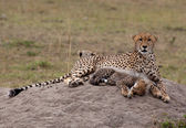 Cub & Mother Cheetah, On The Rock — Stock Photo