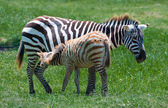 Newborn Zebra Having a Free Drink — Stock Photo