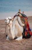 The Happiest Camel in Egypt — Stock Photo