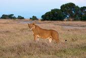 Kenyan Lion — Stock Photo
