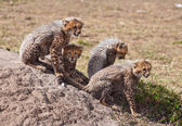 Cubs On The Rock — Stock Photo