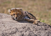 Cub On The Rock — Stock Photo