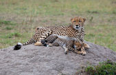 Cheetah Family On The Rock — Stock Photo