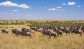 Masai Mara Migration — Stock Photo