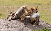 Cubs and Mom On The Rock — Stock Photo