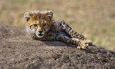 Cute Cheetah Cub On The Rock — Stock Photo