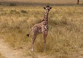 Neugeborene giraffe — Stockfoto
