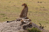 Cubs and Mom On The Rock #2 — Stock Photo