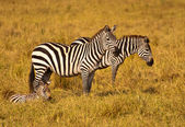 Zebra Family - Kenya — Stock Photo