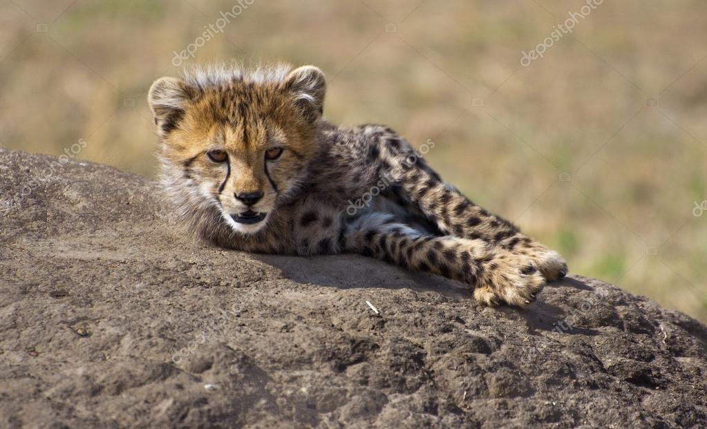 可爱小猎豹在岩石上的名字