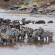 Mara River Migration, Kenya — Stock Photo
