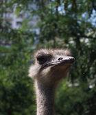Australian emu — Stock Photo