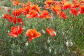 罂粟 — 图库照片