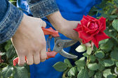 Gardener cuts rose — Stockfoto
