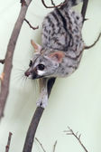 Genet on a tree branch — Photo