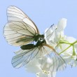 Two loving butterfly on jasmine flowers — Stock Photo