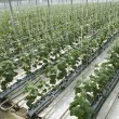 Hydroponic cultivation of cucumbers in greenhouse - Stock Photo