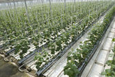 Hydroponic cultivation of cucumbers in greenhouse — Stock Photo