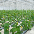 Stock Photo: Hydroponic cultivation of cucumbers in greenhouse