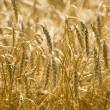 Mature grain field in autumn — Stock Photo