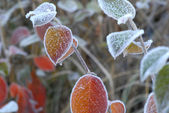 Crystals of hoar frost on leaves — Stock Photo