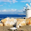Sleeping cat in Santorini - Stock Photo