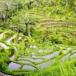 Stock Photo: Amazing balinese rice fields