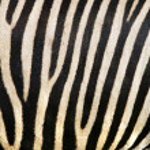 Animal print, zebra texture background black and white colors — Stock Photo #12821389