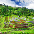 Stock Photo: Pictorial rice terraces of Bali island