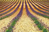 Krásný geometrie travarica ' pole, valensole, provance — Stock fotografie