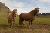 Islandic horse — Stock Photo