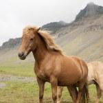 Iceland Horse — Stock Photo #12721038